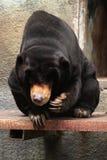 Malayan sun bear (Helarctos malayanus). Stock Images