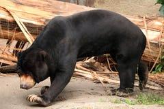Malayan sun bear (Helarctos malayanus). Stock Image