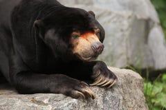 Malayan sun bear (Helarctos malayanus). Royalty Free Stock Images