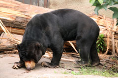 Malayan sun bear (Helarctos malayanus). Royalty Free Stock Photography