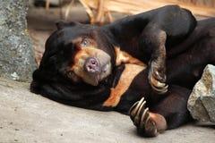 Malayan sun bear (Helarctos malayanus). Royalty Free Stock Photography
