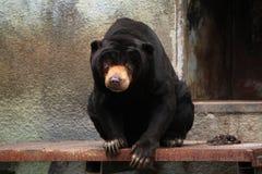 Malayan sun bear (Helarctos malayanus). Royalty Free Stock Photos