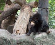 Malayan sun bear. Or Honey bear Royalty Free Stock Image