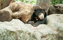 Malayan sun bear, Honey bear Royalty Free Stock Image