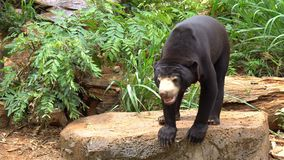 Malayan sun bear or honey bear walking in a captivity inside. A zoo stock video