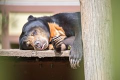 Malayan sun bear or honey bearsleeping Royalty Free Stock Images