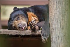 Malayan sun bear or honey bearsleeping Stock Photos