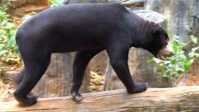 Malayan sun bear or honey bear walking in a captivity inside. A zoo stock video footage