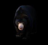Malayan Sun Bear In Dark Background Stock Photo