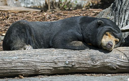 Malayan sun bear 5 Stock Photo