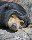 Malayan sun bear 6 Stock Images
