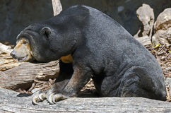 Malayan sun bear 7 Royalty Free Stock Photo