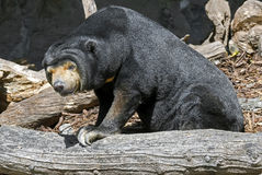 Malayan sun bear 8 Stock Photos
