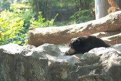 Malayan sun bear lay down Stock Photos