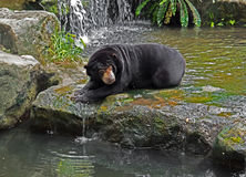 Malayan Sun Bear Lie Down on Rock near Waterfall. Malayan Sun Bear Lie Down on Rock near Stream Waterfall Royalty Free Stock Photography