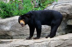 Malayan sun bear. Live at zoo Stock Image