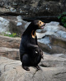 Malayan sun bear. Live at zoo Royalty Free Stock Photos