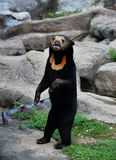 Malayan sun bear. Live at zoo Stock Images