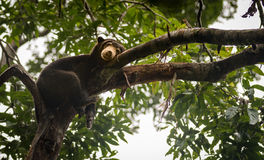 Malayan sun bear looking moody and tired, Sepilok, Borneo, Malaysia Royalty Free Stock Photo