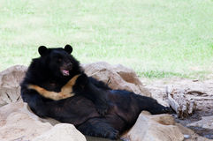 Malayan sun bear lying on ground in zoo use for zoology animals and wild life in nature forest. File of malayan sun bear lying on ground in zoo use for zoology Stock Images