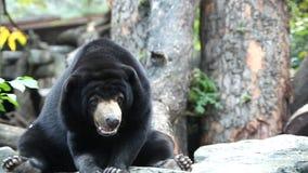 Malayan sun bear. Looking in wild stock video footage