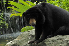 Malayan sun bear and paparazzi Royalty Free Stock Images