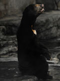 Malayan Sun Bear Stock Photo