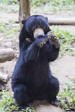 Malayan sun bear Stock Images