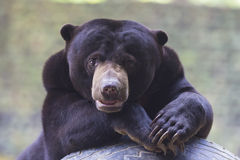 Malayan sun bear Stock Photos