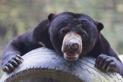 Malayan sun bear Stock Image