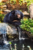 Malayan Sun Bear Portrait Stock Photos