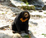 Malayan Sun Bear sitting on the ground Stock Photos
