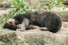 Malayan sun bear sleeping on a rock royalty free stock photos