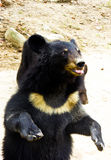 Malayan Sun Bear spitting tongue Royalty Free Stock Photography