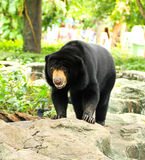 Malayan Sun Bear. Royalty Free Stock Photo