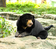 Malayan Sun Bear. Stock Photography