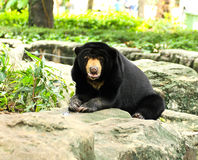 Malayan Sun Bear. Stock Images