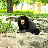 Malayan Sun Bear. Royalty Free Stock Images