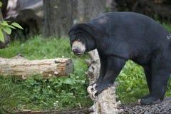 Malayan Sun Bear in Zoo. Malayan SunBear standing on log in Oregon Zoo Stock Photos