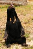 Malayan Sun björn som visar av Royaltyfri Bild