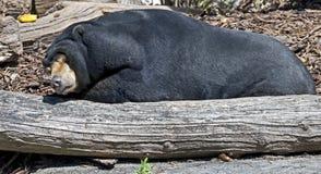 malayan sun för björn Fotografering för Bildbyråer