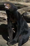 malayan sun för björn Arkivfoto