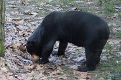malayan sun för björn Royaltyfria Bilder