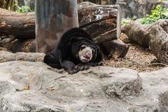 malayan sun för björn Arkivfoton
