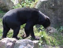 malayan sun för björn Royaltyfri Foto