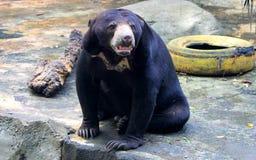 malayan sun för björn Royaltyfri Bild