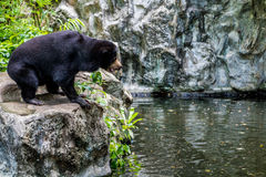 malayan sun för björn Arkivbild