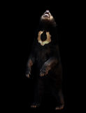 Malayan sunbear in the dark background Stock Photos