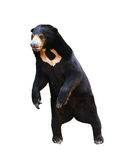 Malayan Sunbear Standing Isolated Royalty Free Stock Photography