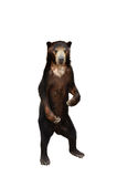 Malayan sunbear isolated Royalty Free Stock Image